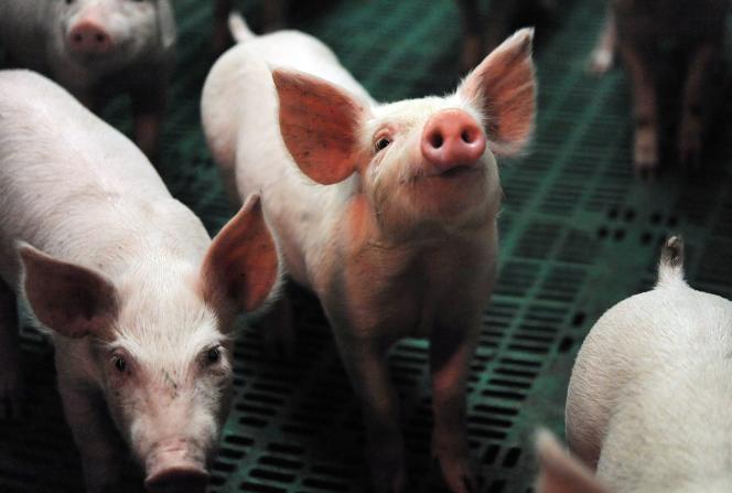 Un cochon dans un élevage de Ploneour-Lanvern, en Bretagne, le 11 août.