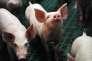 Le cours du porc est remonté graduellement jusqu'à atteindre un niveau considéré comme rémunérateur par les éleveurs, notamment grâce aux exportations vers la Chine.