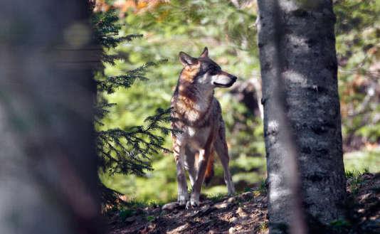 L'Etat a autorisé la destruction de deux loups supplémentaires d'ici à juin.