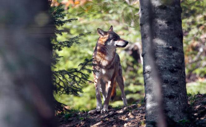 Loup captif à Alpha, le parc des loups du Mercantour, à Saint-Martin-Vésubie.