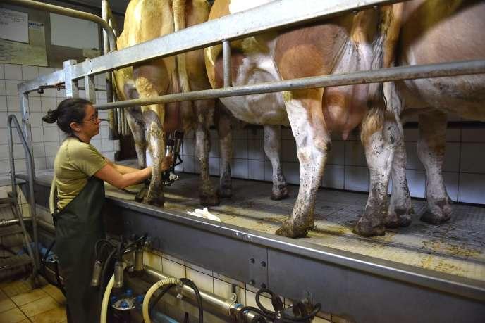 Traite de vache à lait dans une ferme près de Laguiole (Aveyron).