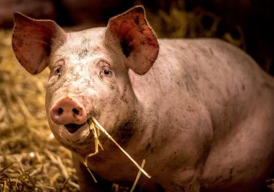 Sortir de la paralysie, tel est l'enjeu de la rencontre organisée sous l'égide du ministre de l'agriculture avec les acteurs de la filière porcine
