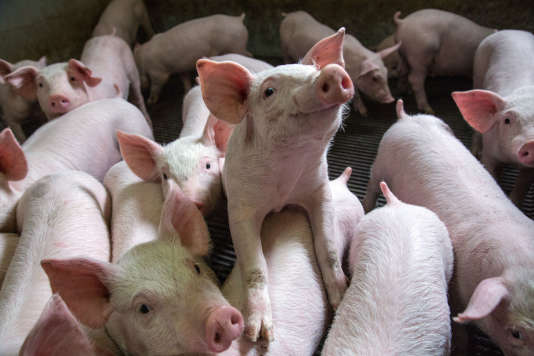 Un élevage de jeunes cochons en Eure-et-Loir.