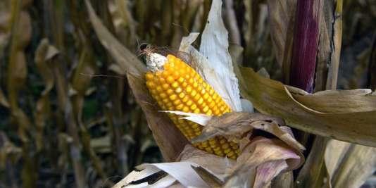Le gouvernement de Felipe Calderon (2006-2012) avait autorisé en 2009 la semence de maïs transgénique.