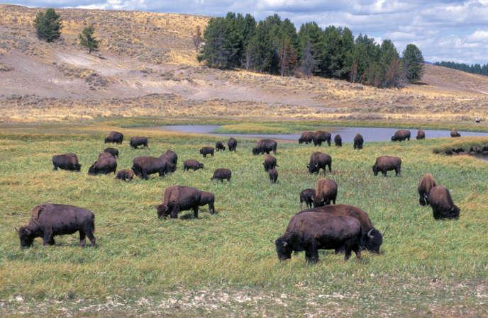 Il y aurait 5 000 bisons dans le parc de Yellowstone (Wyoming). Pour contrôler cette population, les autorités pourraient en abattre 900.