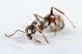 "En Finlande, ""Formica rustica"" est souvent infectée par des champignons ""Beauveria bassiana""."