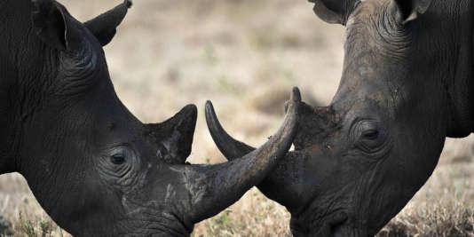 Rhinocéros d'une réserve sud-africaine, en 2010.