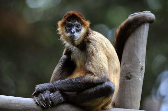 Un singe atèle dans le zoo Simon-Bolívar, à San José (Costa Rica), en 2013.