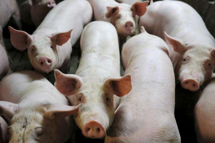 Elevage de porcs dans le Morbihan.