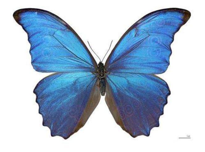 Un papillon Morpho didius (spécimen de musée)