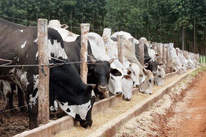 Une exploitation bovine au Brésil, qui autorise le clonage dans l'élevage.
