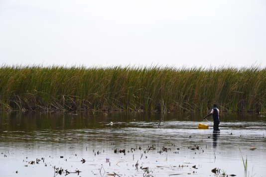 Le tapis vert de Typha qui se développe depuis les rives et s'étale sur le fleuve Sénégal, progresse d'année en année. Il s'étend aujourd'hui sur 130 km en amont de l'embouchure.