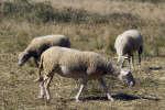 En Nouvelle-Zélande, une équipe scientifique a réussi à élever des moutons qui émettent moins de méthane, et donc moins de gaz à effet de serre.