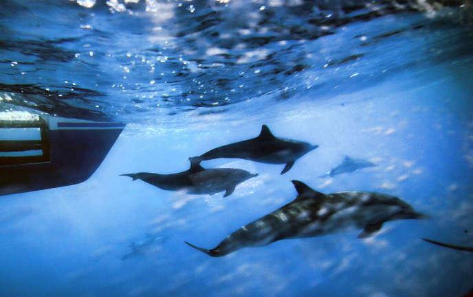 Des dauphins au large des côtes de San Pedro, en Californie, en octobre 2014.