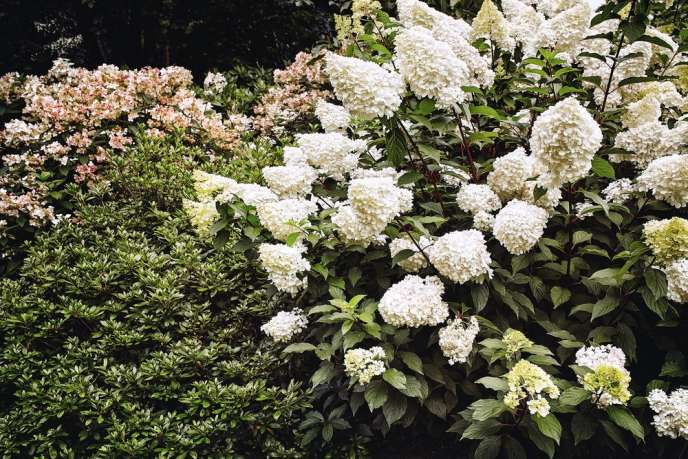 Un buisson d'hortensias de l'espèce Hydrangea paniculata.