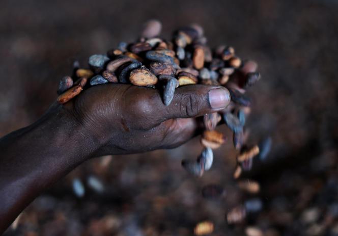 Culture de fève de cacao, au Sierra Leone, en novembre 2014. L'Afrique de l'Ouest est la plaque tournante du commerce de la cabosse.