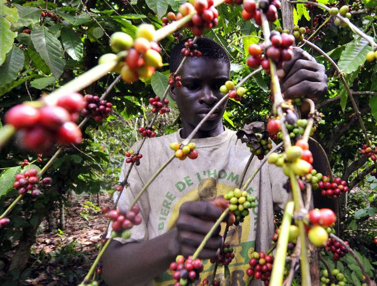 La Côte d'Ivoire est le premier producteur mondial de cacao avec 1,7 million de tonnes par an.