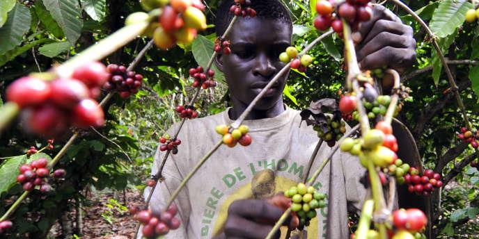 Dans une plantation de cacaoyers à Divo, en Côte d'Ivoire, en octobre 2010.