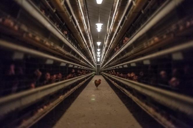 La volaille connaît une forte augmentation de la demande mondiale. L'Allemagne, qui produisait 550 000 tonnes de poulets de moins que la France en 2000, en produit plus depuis 2012 (photo:  élevage de poules en batterie dans le Morbihan).