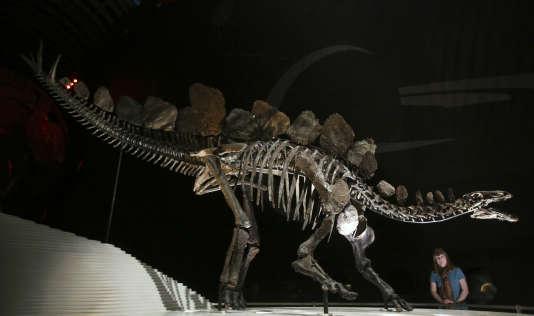 Le squelette le plus complet du Stegosaurus exposée au Museum d'Histoire Naturelle de Londres le 3 décembre 2014.