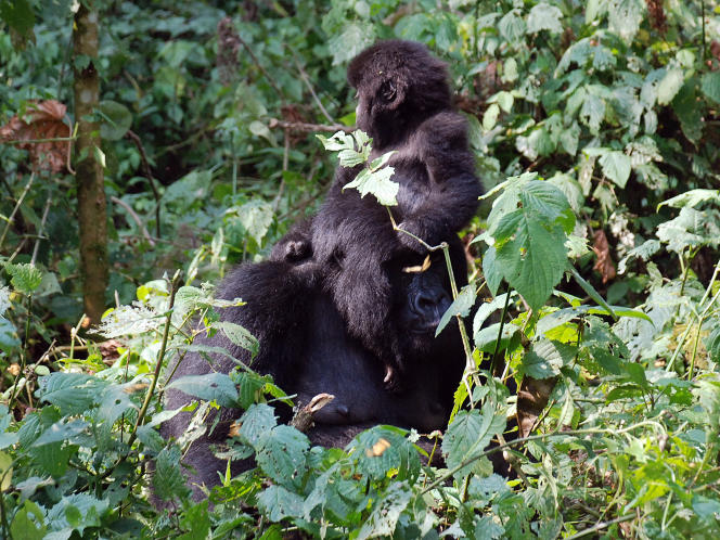 La majorité des derniers gorilles des montagnes vit dans le Parc national des Virunga, dans l'est de la République démocratique du Congo. Ces primates géants sont aujourd'hui menacés d'extinction par leurs plus proches cousins.