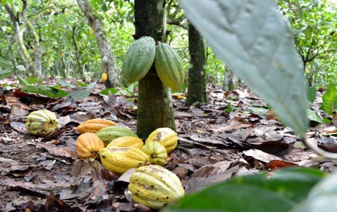 Exploitation de cacao à Gagnoa, Côte d'Ivoire, en septembre.