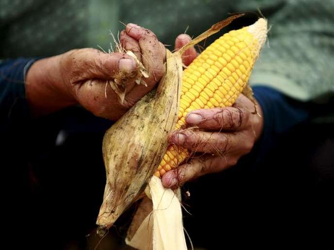 Un épi de maïs dans une ferme de Gaocheng, en Chine, le 30 septembre 2015.