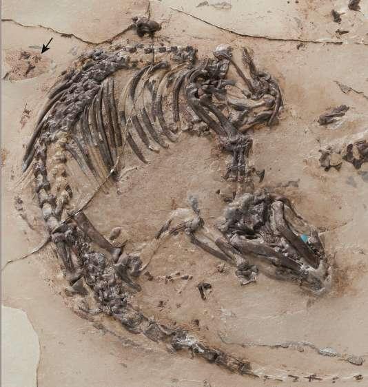 Squelette de Spinolestes, avec l'ombre de la fourrure et, en haut à gauche, marqués par la flèche, les restes de l'oreille externe