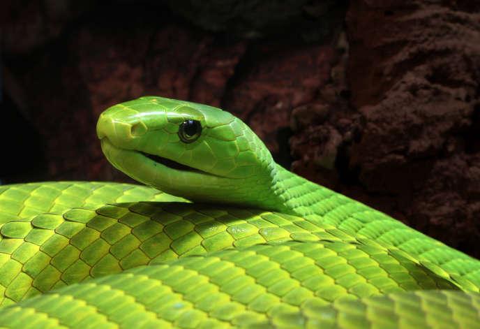 Mamba vert d'Afrique de l'Est (