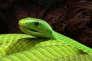 "Mamba vert d'Afrique de l'Est (""Dendroaspis angusticeps"")."