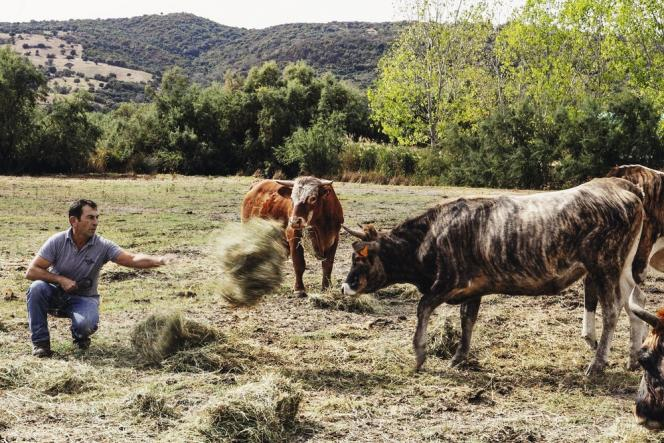 Jacques élève des vaches de race tigre (du fait de leur robe caractéristique), qui donnent une viande exceptionnelle.