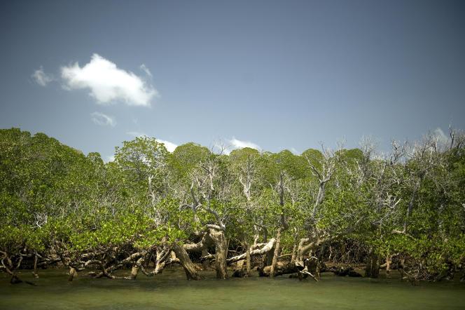Mangrove sur l'île de Lamu, au Kenya, en 2012.
