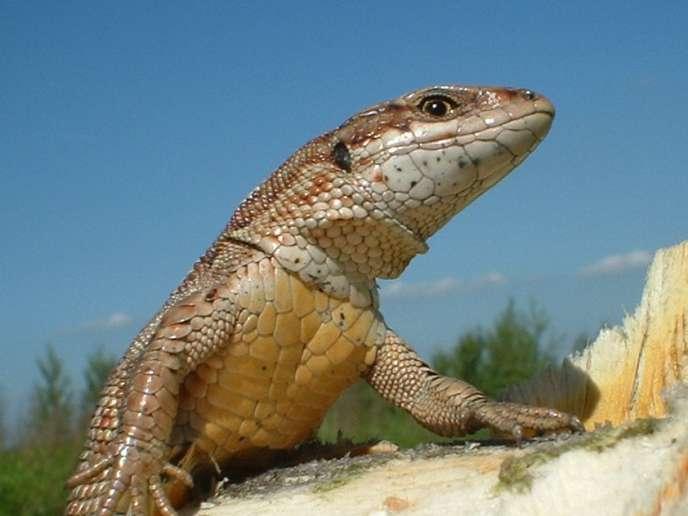L'université de Toulouse a étudié l'adaptation du lézard européen «Zootoca vivipara» au réchauffement climatique.