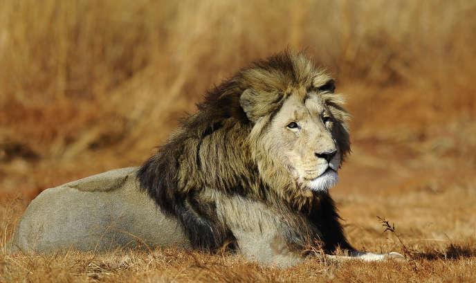 Un lion dans le parc Kruger d'Afrique du Sud, l'un des rares espaces à mettre des moyens financiers considérables pour protéger les félins.