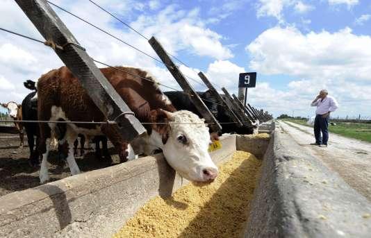 Un élevage de vache près de Pipinas, à 160 kilomètres au sud de Buenos Aires, en Argentine, le 26 janvier 2011.