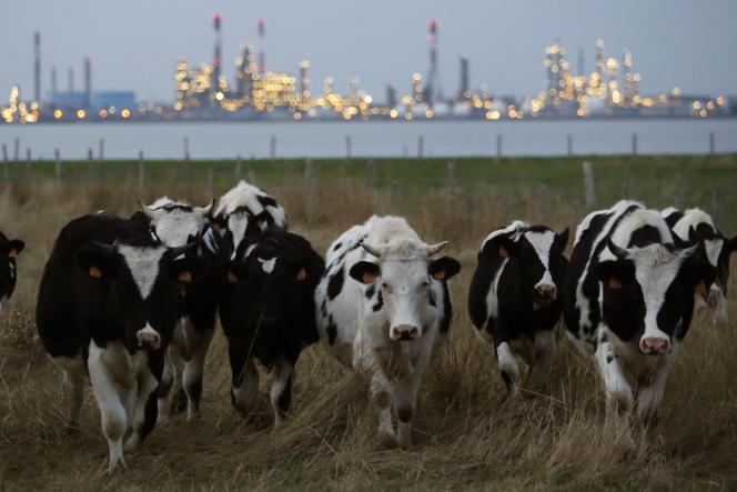 Vaches paissant dans un champ en face de  la raffinerie Total de Donges, en Loire-Atlantique, le 26 octobre 2015.