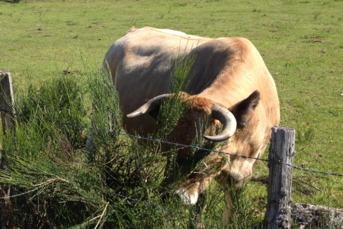 Vache d'Aubrac.