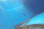 Une anguille munie d'une étiquette satellite que l'on vient tout juste de relâcher en mer.