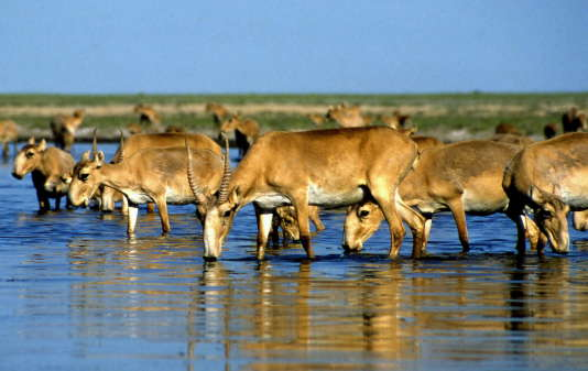 Les scientifiques estiment qu'au moins 211 000 saïgas, soit la moitié de la population, ont disparu en mai.