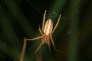 Une araignée Larinia jeskovi sur sa toile.