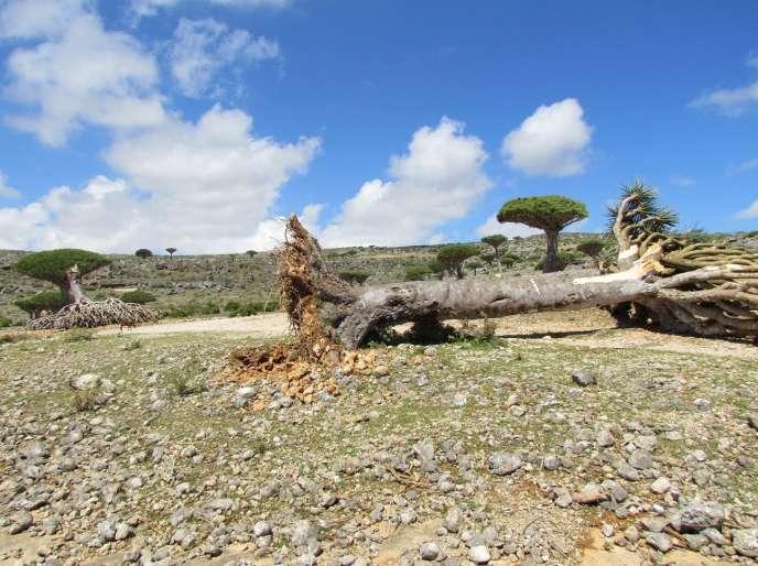 Sur l'île yéménite de Socotra, en novembre 2015.