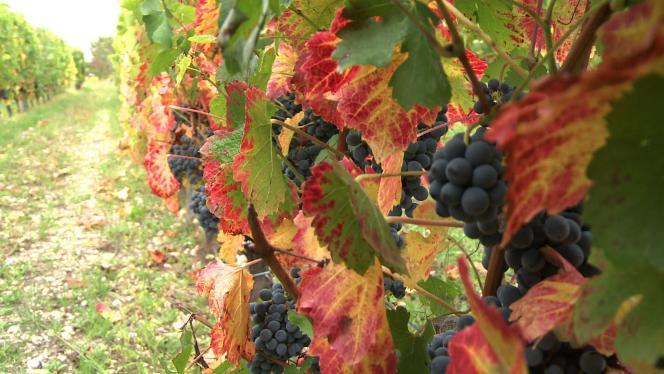 Des vignes prêtes à être vendangées.