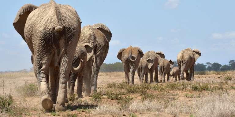 Des éléphants dans les réserve nationale d'Amboseli, au Kenya