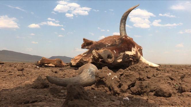Près de 40 000 vaches sont déjà mortes à cause de la sécheresse, la plus grave depuis 1982.