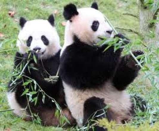 Huan et Yuan Zi, les stars de Beauval