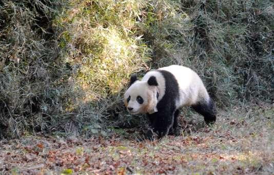 La femelle panda Hua Jiao, le 19 novembre.