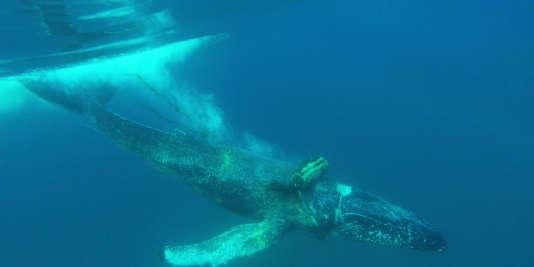Une baleine blessée par des câbles marins au large de la Californie.