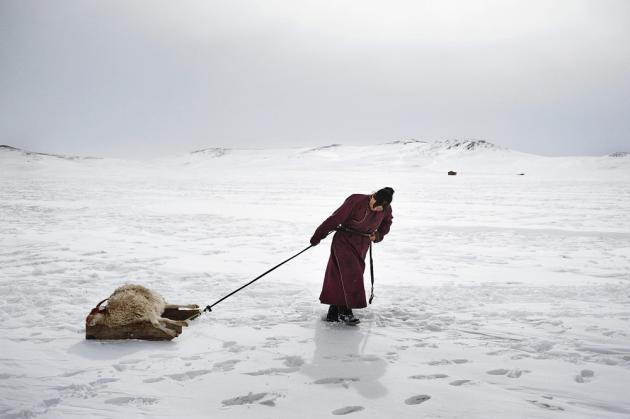 Arkhangai, Mongolie, mars 2011. Erdene Tuya, tire un mouton mort de froid afin de l'enterrer. Ces dernières années, la Mongolie a été frappée par des hivers rigoureux, un phénomène appelé dzud, dû au dérèglement climatique. La famille Tsamba a vu la moitié de son troupeau disparaître en trois hivers. En 2010, 8 millions de têtes de bétail ont péri en Mongolie, forçant plus de 20 000 éleveurs à migrer vers Oulan-Bator.