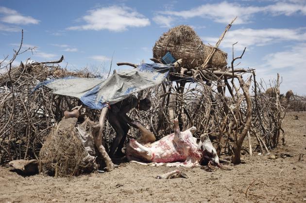 Seis, Kenya, octobre 2013. A la frontière avec l'Ethiopie, un berger de la tribu des Marille dépèce une vache morte à cause de la sécheresse.