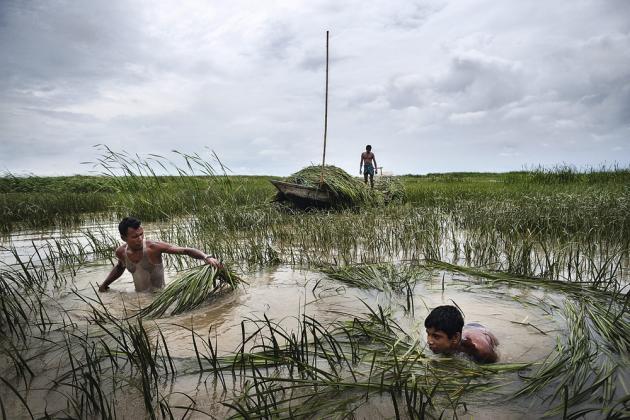 Delta du Gange, Bangladesh, août 201. Des éleveurs de bétail coupent de l'herbe pour nourrir leurs bétails. Autrefois habitée, l'île de Gazura a été submergée par la rivière Meghna. Si le réchauffement climatique se poursuit à ce rythme, 20 % de sa superficie du pays sera immergée avant la fin du siècle et des millions de personnes contraintes à quitter leurs terres.